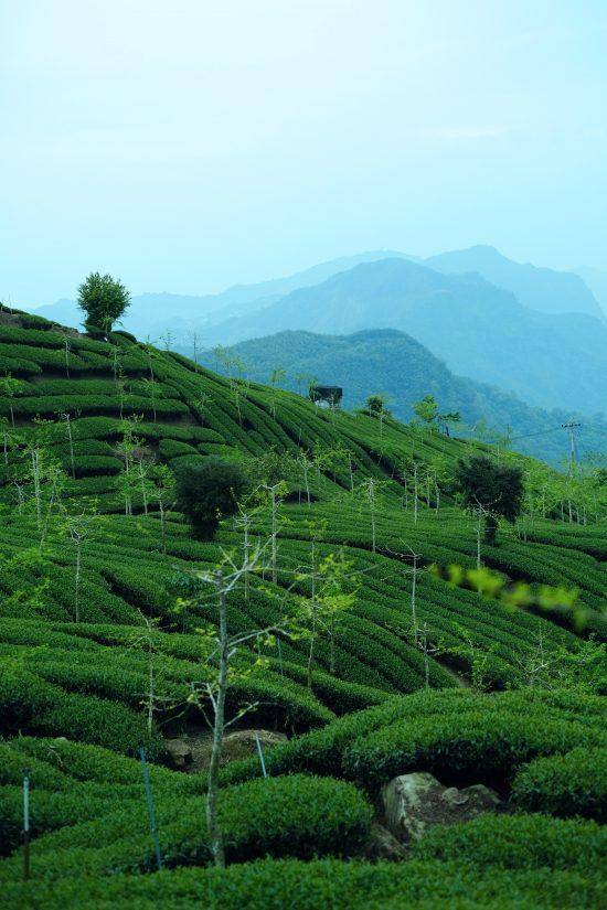 Explorando el cultivo de café taiwanés: primera parte